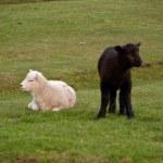 Lambs — Stock Photo #10169237