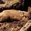 Young wild boars - Stock Photo