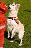 Kurtarma köpeği — Stok fotoğraf