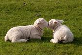Lambs — Stock Photo
