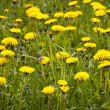Dandelion — Stock Photo #10171637