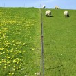 Sheep - Stockfoto