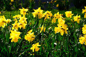 Daffodils — Stock fotografie