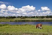 Cows — Zdjęcie stockowe