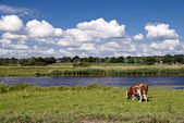 коровы — Стоковое фото