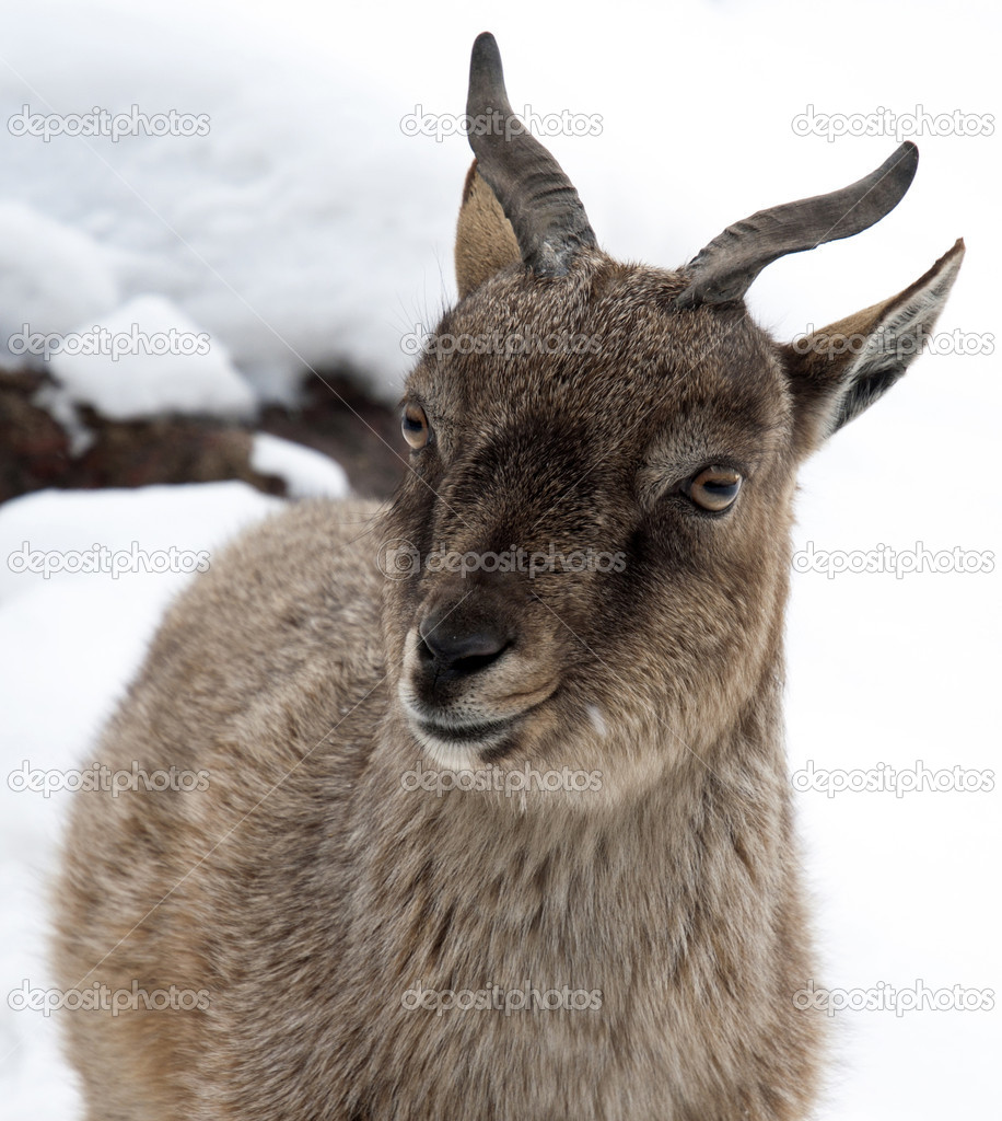 Female copra falconeri (markhor) — Stock Photo #10064862