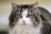 Pluizig kat — Stockfoto