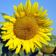 Yellow sunflower on the background of the blue sky — Stock Photo