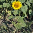A small sunflower in the field — Stock Photo