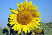 желтый подсолнух на фоне голубого неба — Стоковое фото