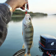 Perch caught on a metal spoon — Stock Photo #10726644