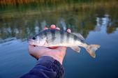 Abborren är i handen på en fiskare — Stockfoto