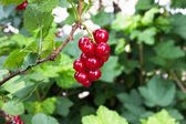 Ripe red currant on a bush among foliage — Stock Photo