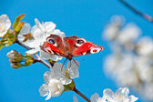 The butterfly , apple-tree flower — Stock Photo