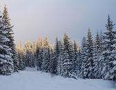 Fir-trees in winter — Stock Photo