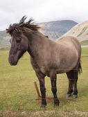 A grey horse — Stock Photo