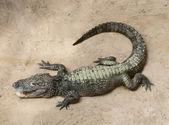 A baby crocodile — Stock Photo