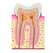 Teeth anatomy - Stock Photo