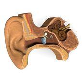 耳朵一节 — 图库照片