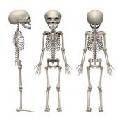 Fetus skeleton — Stock Photo