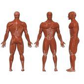 Menselijke spieren — Stockfoto