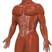 Mänskliga muskler — Stockfoto