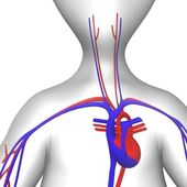 Circulatory — Stock Photo