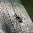 Ant Outside — Stock Photo