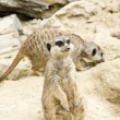 German meerkats - Stock Photo
