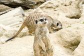 German meerkats — Stock Photo