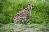 Cheetah on the Prowl — Stock Photo