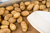种植土豆 — 图库照片