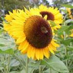 Eine Biene auf einer Sonnenblume — Stock Photo #10280804