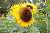 Eine biene auf einer sonnenblume — Foto Stock
