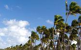 Karibská palmy — Stock fotografie