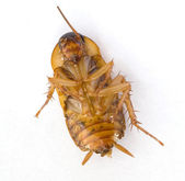 Dead Cockroach on its back — Stock Photo