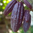 Royalty-Free Stock Photo: Ripe Cocoa pods