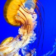 Sea  Nettle jellyfish (Chrysaora fuscescen) - Stock Photo