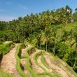 Stock Photo: Ubud Rice Terraces, Bali