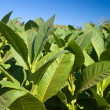 Stock Photo: Tobacco Plants