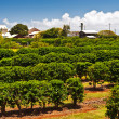 Coffee Plantation in Maui - Stock Photo