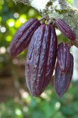 Ripe Cocoa pods — Stock Photo