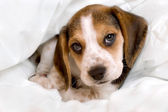 Beagle pup in blanket — Stock Photo