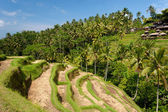 Ubud Rice Terraces, Bali — Stock Photo