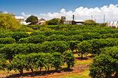 Coffee Plantation in Maui — Stock Photo
