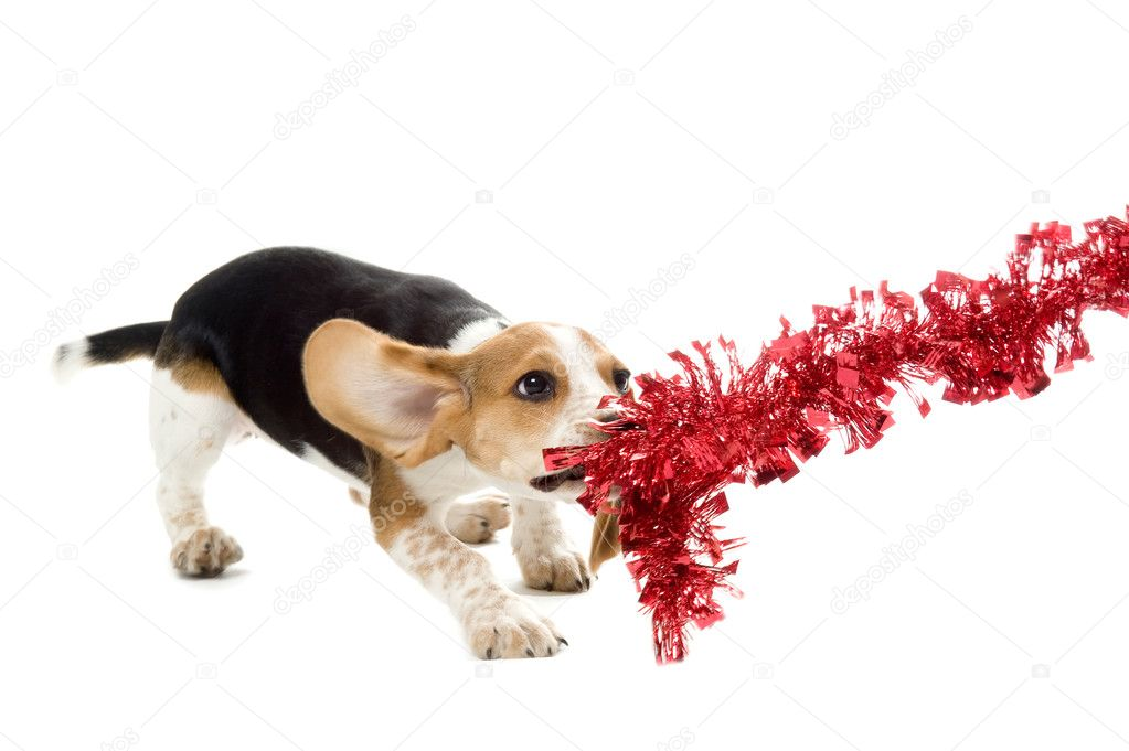 Beagle Puppy tug o' war on a Christmas Decoration — Stock Photo #10270898