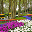 Colorful blossing tulips in Keukenhof park in Holland - Stok fotoraf
