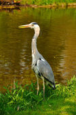 Great blue standing heron in the park near the lake on a sunny d — Stock Photo