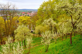 Blooming cherry trees in the garden near Men Monastery on a Frau — Stock Photo