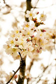 Paradise white apple flowers in Fulda, Hessen, Germany — Stock Photo